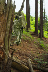 Old wetahered domestic horse skull hanging on dead tree branch