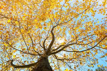 maple leaves tree