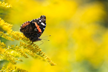 Insect butterfly Red Admiral (Vanessa atalanta) on goldenrod. Copy space
