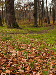 Fallen yellow leaves lie on the green grass in a clearing where trees grow and there is a path