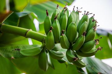Banana bunch. Branch with bananas