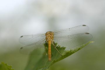 Dragonfly - Macro Sight