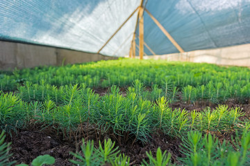 small fir-trees in the nursery under the agrofiber before planting into the open ground
