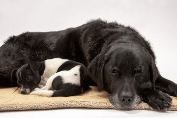 An elderly black labrador bitch and her new 3 month old Jack Russell cross puppy friend settle down for a rest after posing for photos on a white seamless background in the studio
