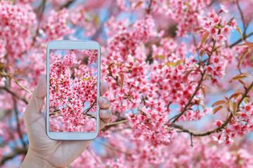 Hand using phone taking photo beautiful Wild Himalayan Cherry