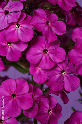 Floral Wallpaper From Pink Phlox On A Violet Background Macro