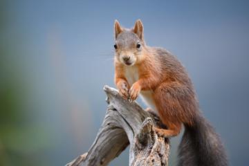 Red squirrel (Sciurus vulgaris) in fall