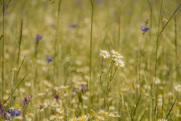 camomiles in the field