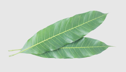Green leaves of mango  isolated on gray background, clipping path