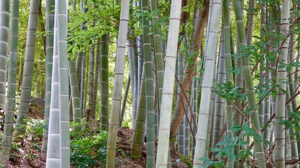 Bamboo, Bambus in der Natur