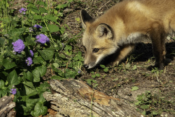 Red Kit Fox Exploring