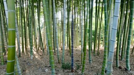 Bamboo, Bambus in der Natur