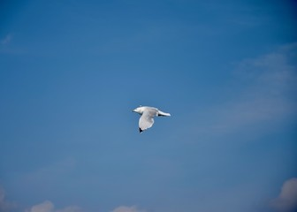 Seagull in the Air