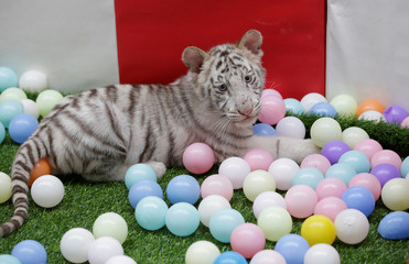 A two-month-old white tiger, it is abandoned by its mother, plays with colour balls at Beijing Wildlife Park on the outskirts of Beijing