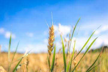 Finnish wheat field. Kajaani, Finland