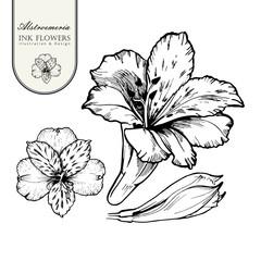 Black ink line style sketch flower. Hand painted Alstroemeria.