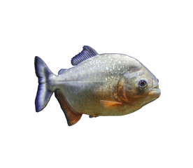 The piranha fish on white background isolated