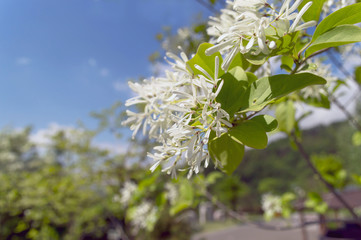 manna ash in bloom