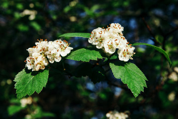 A branches of a viburnum with white flowers with yellow-orange stamens and green leaves close-up.