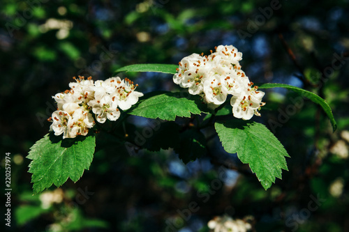 A branches of a viburnum with white flowers with yellow orange a branches of a viburnum with white flowers with yellow orange stamens and green leaves mightylinksfo