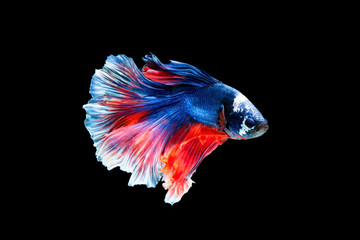 Foto op Aluminium Vissen The moving moment beautiful of siamese betta fighting fish in thailand on black background.