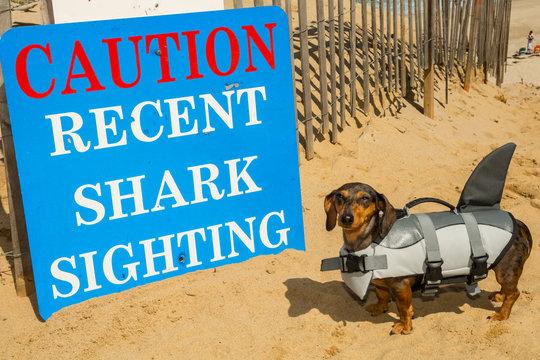 Dachshund puppy in a shark costume at Cape Cod Massachusetts.
