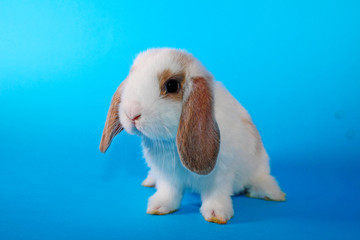 White hotot lop Cute bunny rabbit kit on colorful studio background