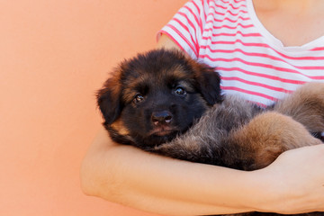 Woman holding cute shepherd puppy on wall background