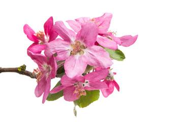 flowers of apple-tree isolated