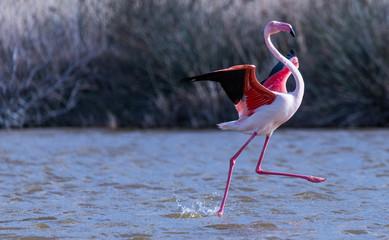 Stores à enrouleur Flamingo flamant rose