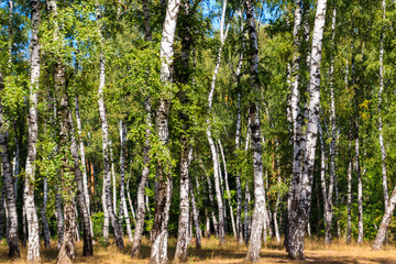 Beautiful birch trees in birch forest at summer