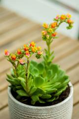 Succulente en fleurs