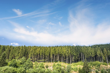 Pine tree forest under a blue sky