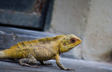 Yellow Lizard Looking on White Background
