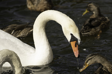 White Mute Swan with Mallard Ducks on a lake at Roundhay Park,Leeds,West Yorkshire,England,UK.