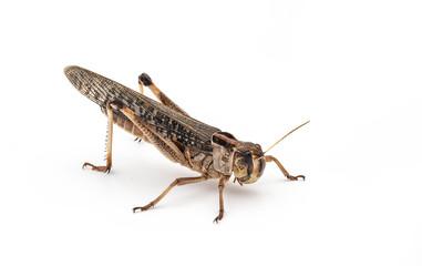 Essbare Insekten (Locusta migratoria)