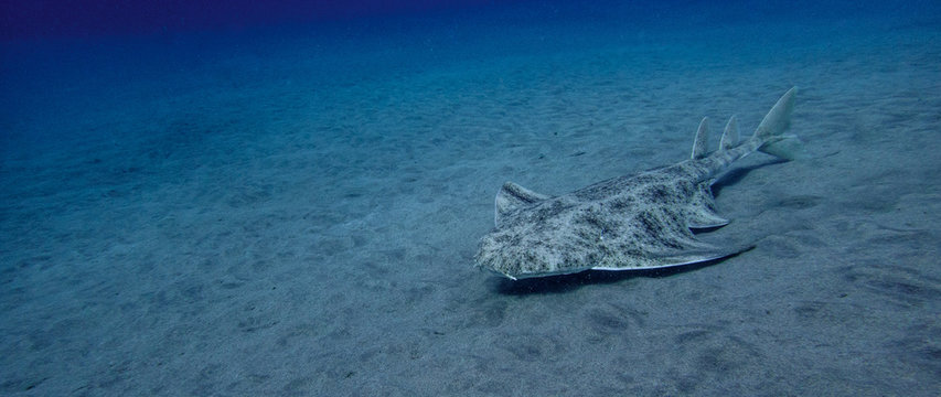 Swimming angelshark over sand in blue ocean in canary island