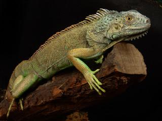 Green iguana Lguana iguana in terrarium