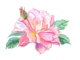 Delicate rose floribunda with buds, watercolor drawing on white background, isolated with clipping path.