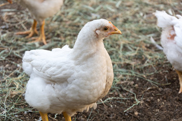 Broiler chickens on a rural poultry farm. Chicken in animal rural farm.