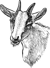 Sketch of the head of a domestic goat
