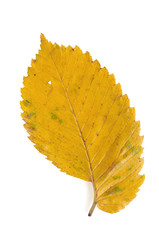 Elm leaf in autumn colors isolated on white background.
