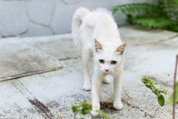 A white stray cat feels threatened and makes a hunchback. Cat rounded defending