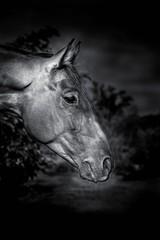 głowa konia czarnobiałe