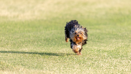 Yorkshire terrier running in a field.