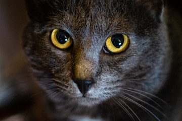 Moody close up of a cat focusing on its yellow and piercing eyes