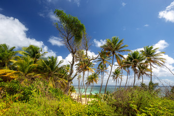 Tropical beach with coconut trees in Martinique, Caribbeans. Anse Michel Cap Chevalier