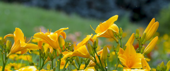 Yellow Day lily or Hemerocallis close-up background