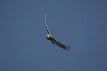 Condor, Cruz del Condor, Canyon del Colca, Pérou