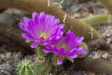 Cactus flowering purple
